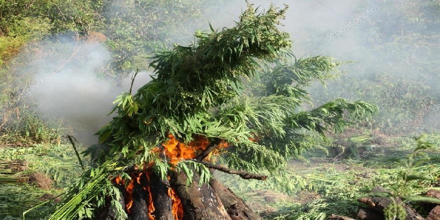 Spalona uprawa konopi