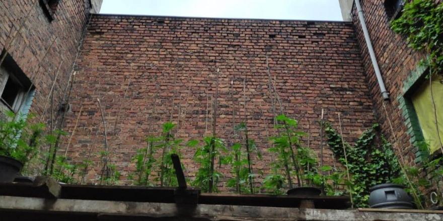 konopie na dachu