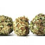 odmiany marihuany