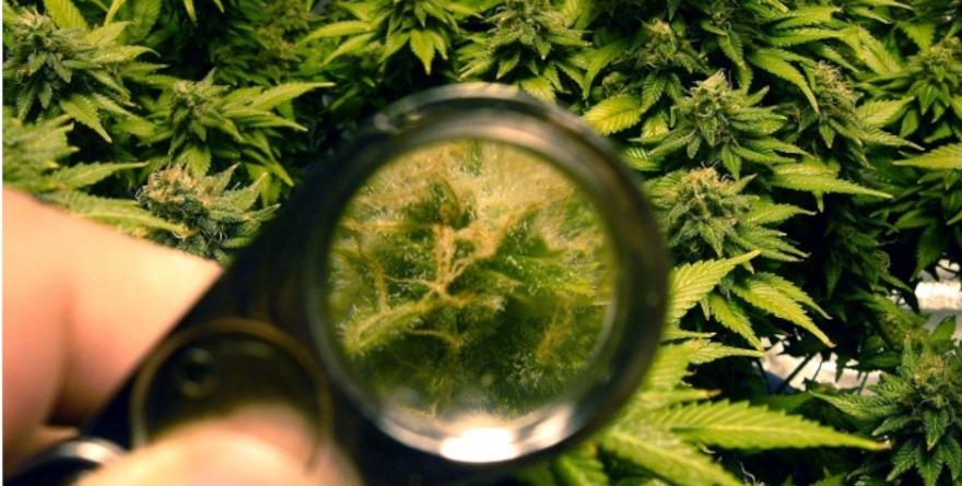 Marihuana pod lupą