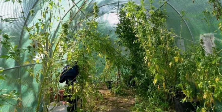 uprawa konopi w sklarnii